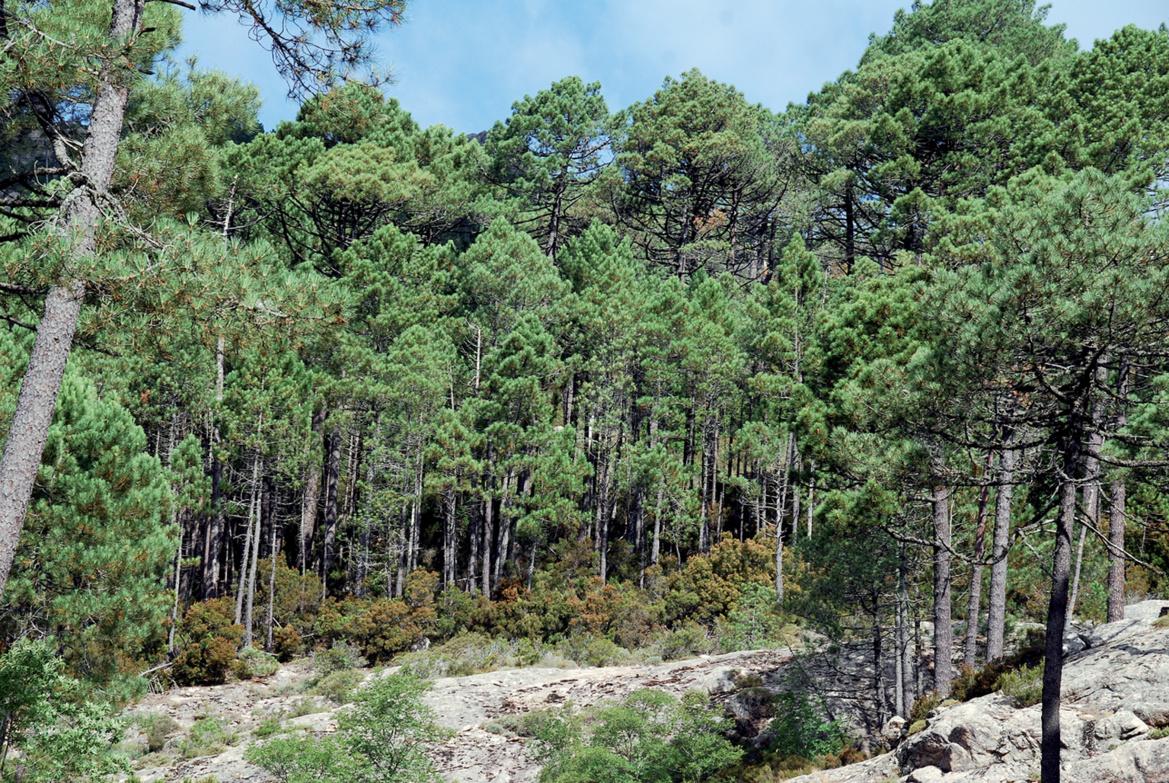 Forêt de l'Ospédale dans la région de porto Vecchio