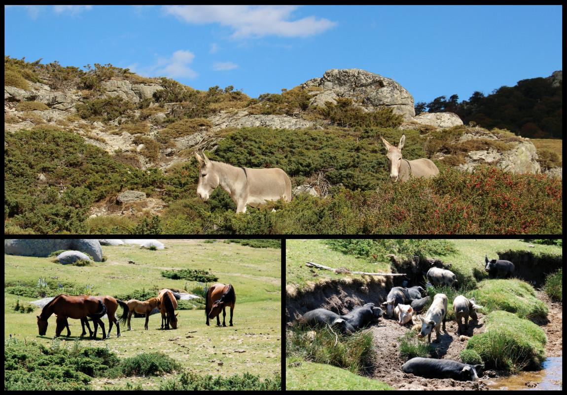 Anes, chevaux et cochons sont présents sur le plateau du Cuscionu