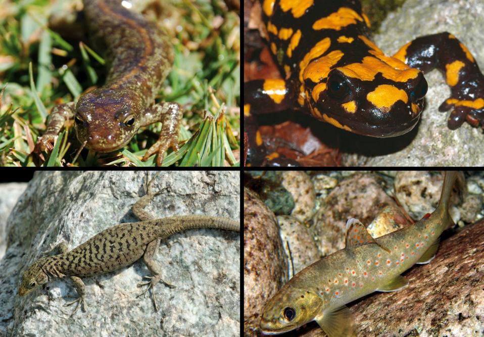 """L'euprocote de Corse, la salamandre de Corse, le lézard de Bedriaga et la truite """"macrostigma"""""""