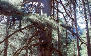 Le pin lariccio